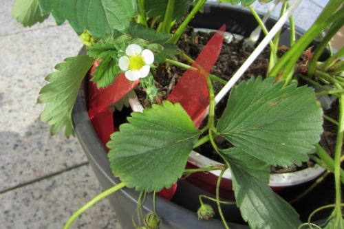 Erdbeere blüht
