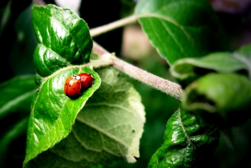 ladybirds in love