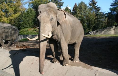 Elefant bei Hagenbeck