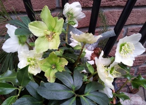 Christrosen-Blütenprachtklick drauf !