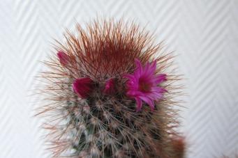 Mein kleiner grauer Kaktus blüht