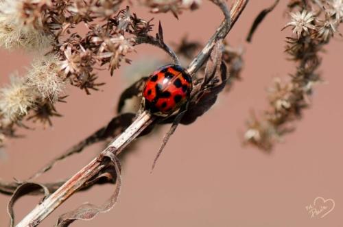 Käfer mit Herz