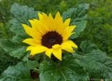Sonne von der Blume