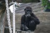 Gorillakind beim Nasepopeln